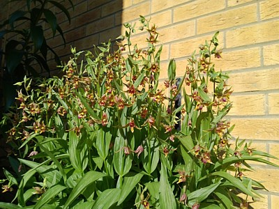Orchid - Epipactis gigantea in a hanging basket