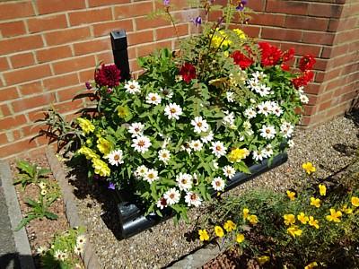 Front garden trough - zinnia, bedding dahlia, porcupine tomato