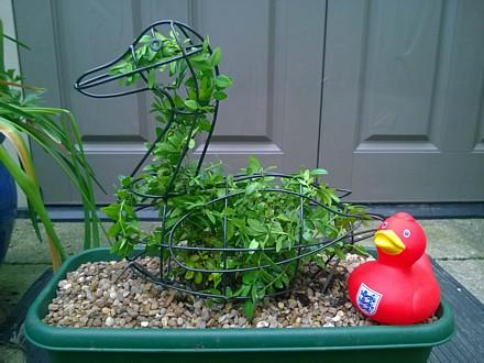 Box duck