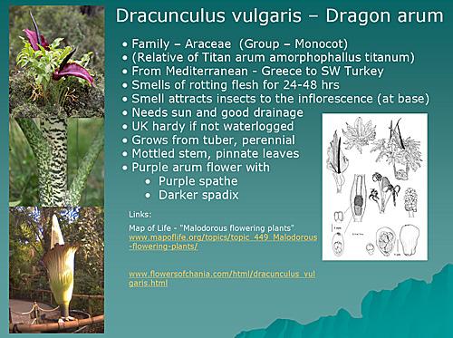 Dracunculus vulgaris information slide