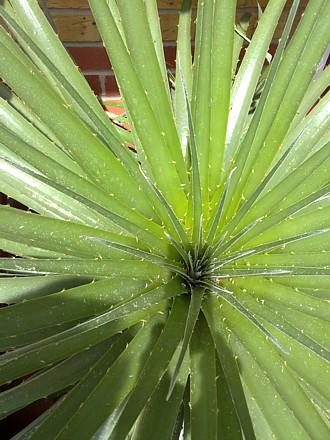 Puya chilensis, spring