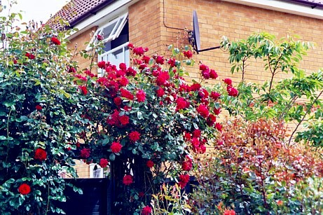 Early Roses 2004