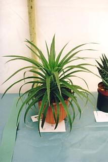 Specimen Cactus - First Prize