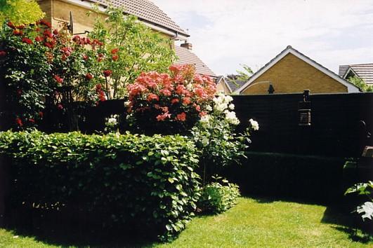 Standard Rose