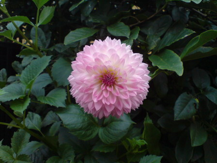 Dahlia 'Sakura Fubuki'