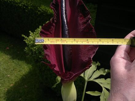 Dracunculus vulgaris (Dragon arum)
