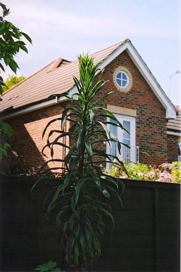 Echium flower 2006