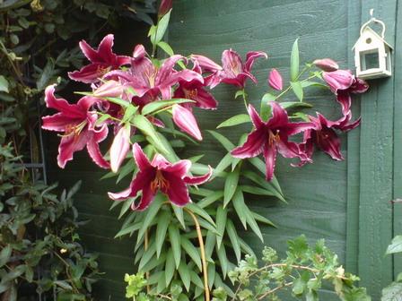 Lily 'Sumatra'