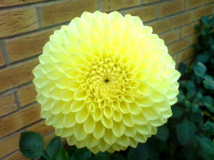 Dahlia 'Lemon Zing'