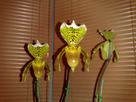 Orchid - Paphiopedilum - click for larger image