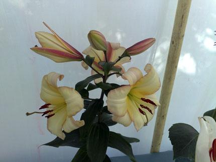 Single lily stem