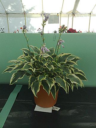Foliage plant (Hosta)