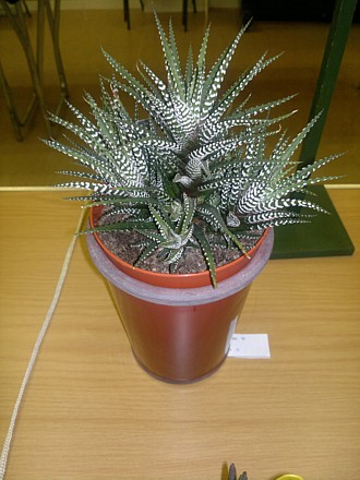 Haworthia attenuata (Third Prize)