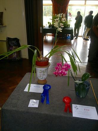 Orchid - Phalaenopsis 'Taida Salu Red' (First) Cymbidium Cream Showgirl Hybrid (Second) in novice class