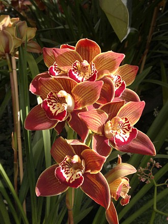Orchid - Cym. Cracker Jack 'Brown Velvet'