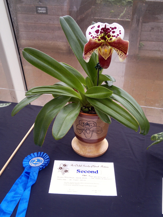 Orchid - Paphiopedilum Jupiter Hollow (Paph. New Edition 'Magic' x Paph. Thunder Sea 'Breathless') (Second Prize)