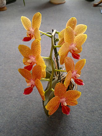 Orchid - Phalaenopsis 'Magical'