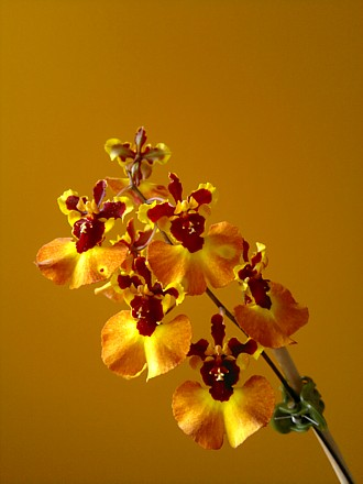 Orchid - Tolumnia Peach