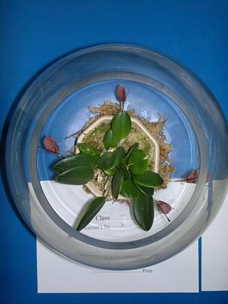 Orchid - Restrepia elegans