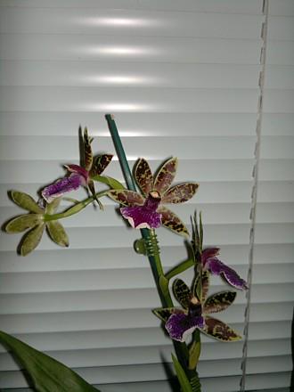Orchid - Zygopetalum Artur Elle