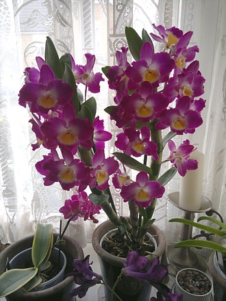 Orchid - Dendrobium nobile Starclass 'Lilac'