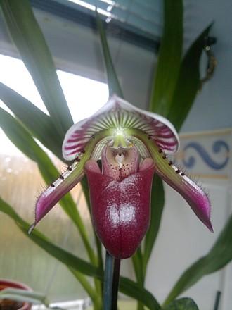 Orchid - Paphiopedilum Maudiae - 'Hsinying Web', opening