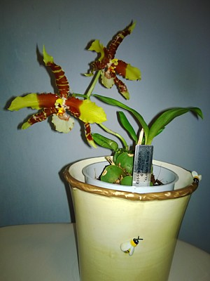 Orchid - Rossioglossum grande (Clown orchid)