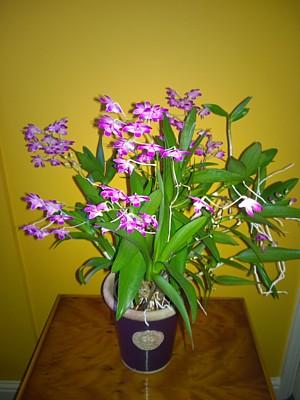 Orchid - dendrobium 'compactum' Berry
