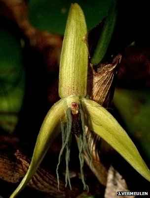 Orchid - Bulbophyllum nocturnum, first discovered night-flowering orchid. Beautiful! Photo by Jaap Vermeulen