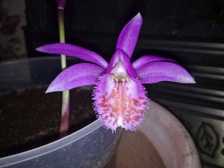 Orchid - Pleione Tongariro, opening