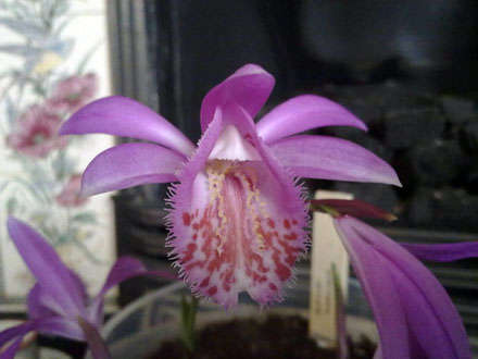 Orchid - Pleione Tongariro, fully open
