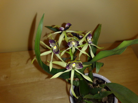 Orchid - Encyclia - click for larger image