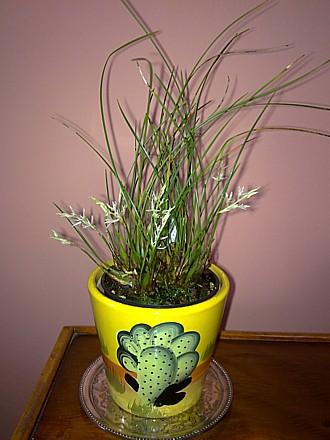 Orchid - Dendrochilum warrenii
