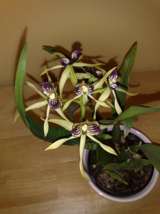 Orchid - Encyclia