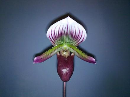 Orchid - Paphiopedilum Maudiae - 'Hsinying Web'