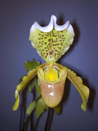 Orchid - Paphiopedilum insigne