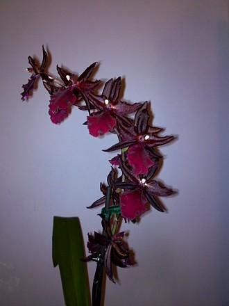 Orchid - Cambria 'Massai Splash
