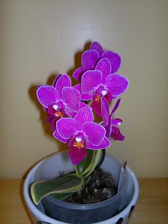 Orchid - Doritaenopsis Sogo Yenlin 'Variegated Leaves'