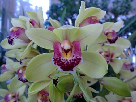 Orchid - Cymbidium Cream Showgirl Hybrid