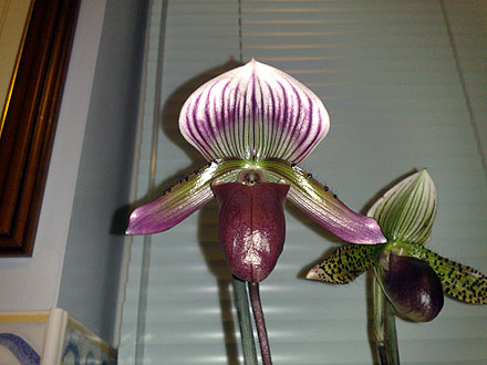 Orchid - Paphiopedilum maudiae - Hsinying Web