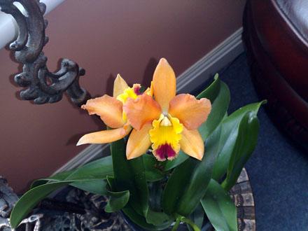 Orchid - Cattleya Potinara Samantha Duncan 'Orange Tart'