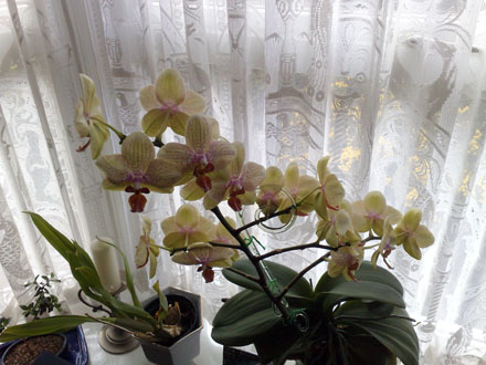Orchid - Phalaenopsis 'Brother Girl'