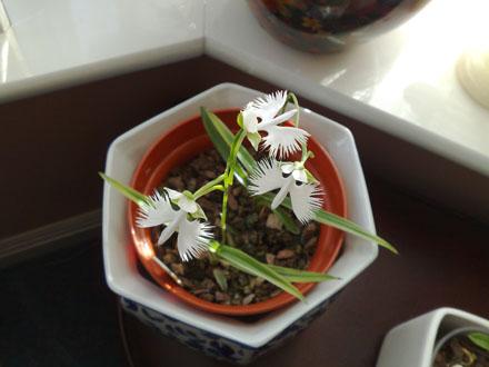 habenaria radiata (White Egret orchid)