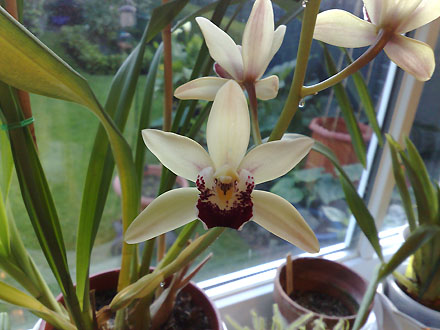 Orchid - Cymbidium Cream Showgirl Hybrid