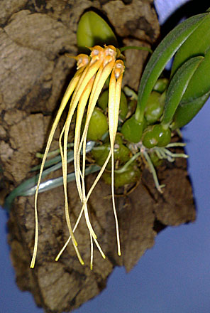 Orchid - Bulbophyllum pecten-veneris