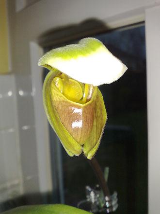 Orchid - Paphiopedilum opening