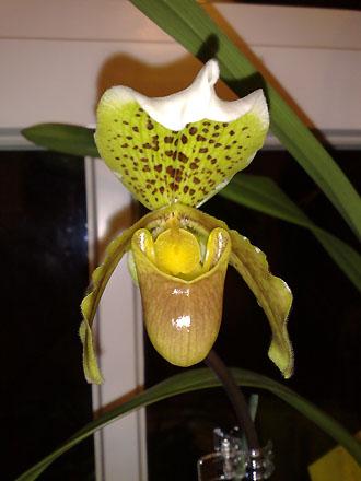 Orchid - Paphiopedilum open