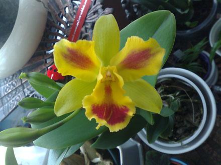 Orchid - Cattleya Potinara 'Burana Beauty'