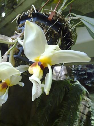 Orchid - Stanhopea lietzei