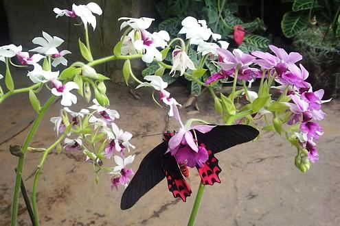 Orchid - Calanthe 'Baron Schroder' gx + 'Big Billy' (Atrophaneura Semperi)